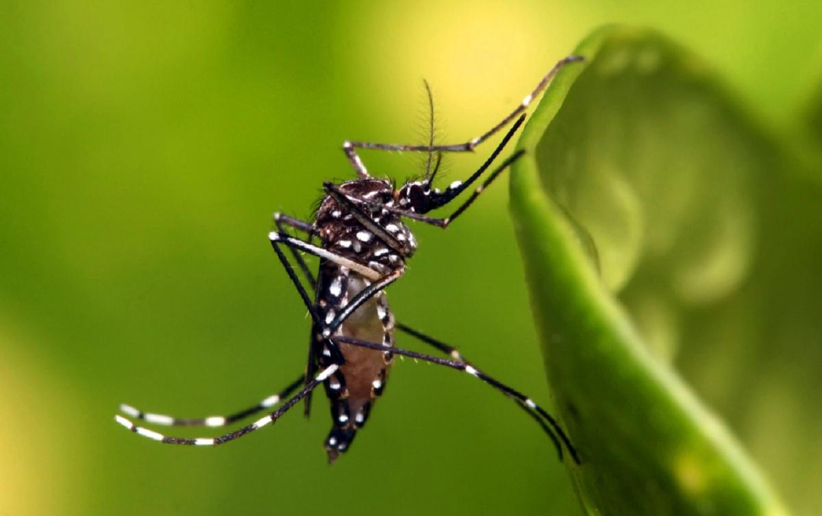 Irresponsabilidade da CTNBio produz super mosquito da dengue na Bahia