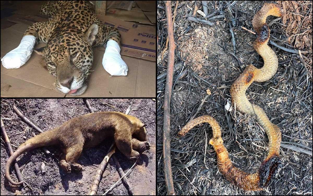 Onças queimadas e animais mortos 'são imagem do Brasil sob Bolsonaro'